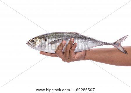 Fresh Fish (torpedo Scad) In Hand. Studio Shot Isolated On White