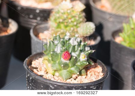 the Beautiful Cactus tree in thailand garden