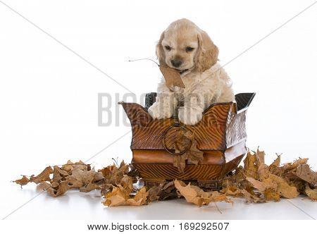 cocker spaniel puppy sitting inside a basket on white background
