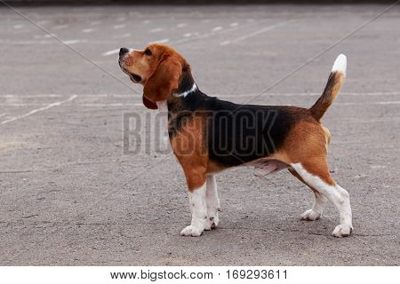 dog breed beagle is walking on open air