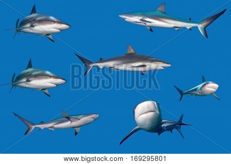 Great White Sharks set over blue background