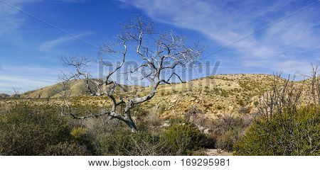 Tree in the southern California Mojave desert grasslands near Antelope Valley.