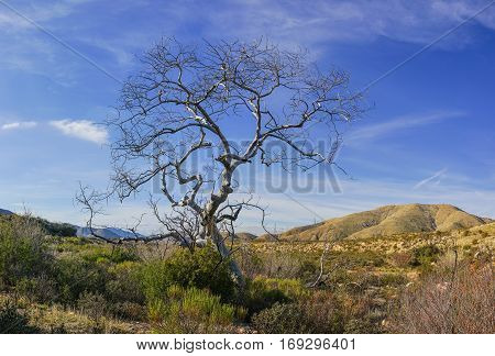 Tall tree stands above the grassland of southern California's Mojave Desert near Santa Clarita.