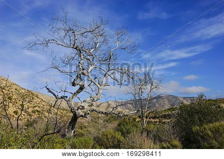 Gnarled dead tree over growth in a Mojave Desert riverbed.