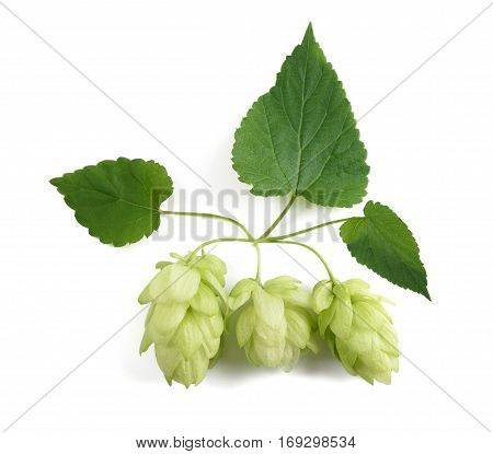 hops cones isolated on a white background