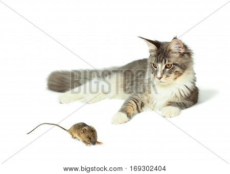 Kitten of Maine coon is playing with mouse on white background