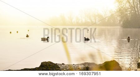 Fog over a lake with swimming ducks and water reflection. Tranquil scene at sunset or sunrise with warm orange sunlight.