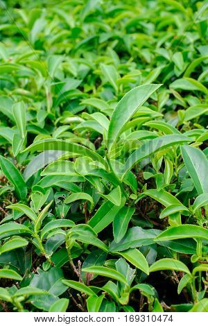Asia culture concept image - Green and fresh organic tea bud tree & leaves plantation the famous Oolong tea area in high mountain in morning Taiwan