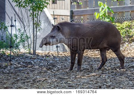 South American tapir or Tapirus terrestris also known as the Brazilian tapir