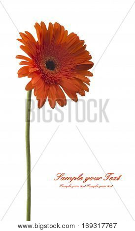 Gerbera flower (Gerbera jamesonii) orange and yellow isolated on white background