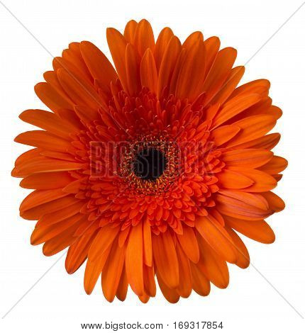 Vibrant bright orange gerbera daisy flower blooming isolate on white background