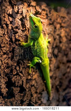 green gecko running on a cork wall