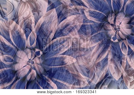 flowers dahlias gray-blue-pink. flowers background. floral collage. abstract composition. Nature.