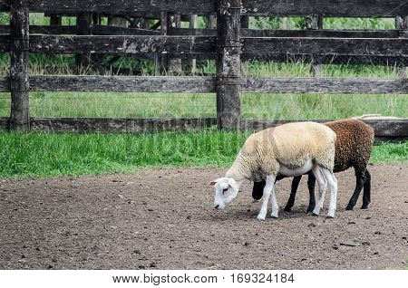 Two sheep walking through the farmyard, white and brown.