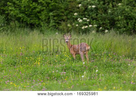 Young roebuck standing in meadow with flowers