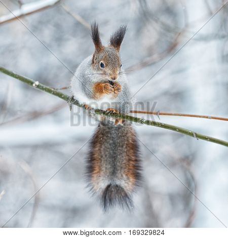Portrait Of Gray Squirrel In Winter Park,