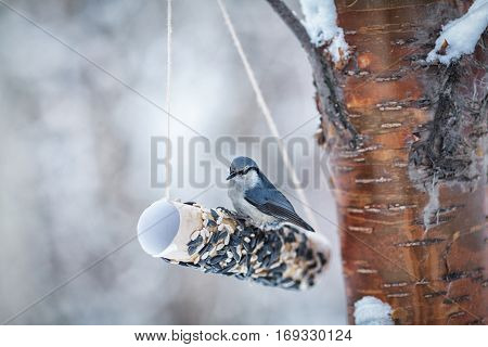 Nuthatch Peck Seeds In Winter Park