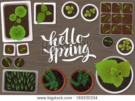 Vector set of flat seedlings of garden plants in different pots on gray wooden surface. Top view. For web template agriculture store adv. Hand written lettering 'Hello spring