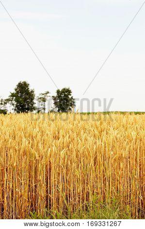 Wheat Plants Under Blue Sky