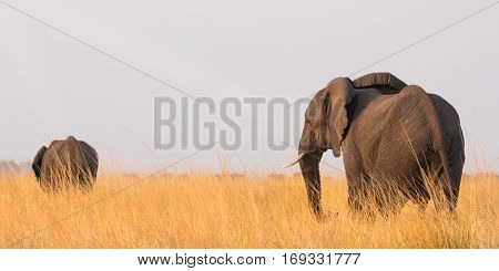 Two african elephants (Loxodonta Africana) on the banks of the Chobe River in Botswana