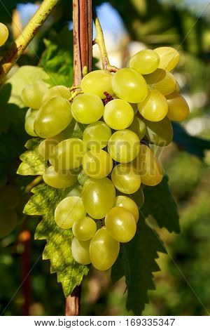 bunch of ripe grapes hanging on the bush
