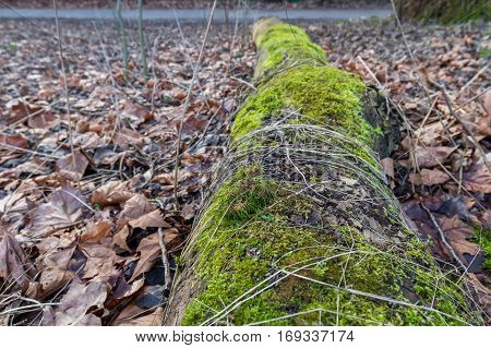 A fallen trunk of a tree rotten in the floor of a forest covered in green moss and surounded by brown leaves
