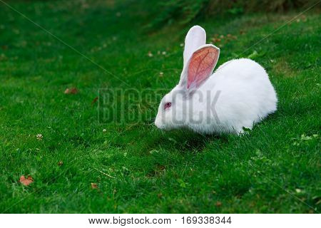 the white rabbit on a green grass