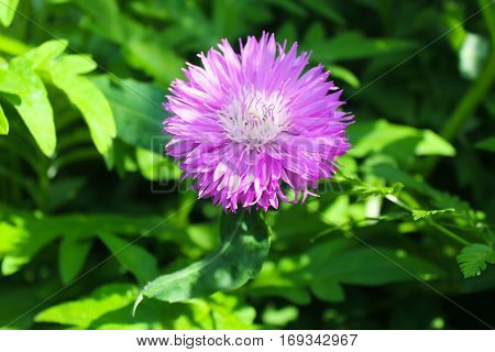 Purple cornflower (Centaurea dealbata) in the garden