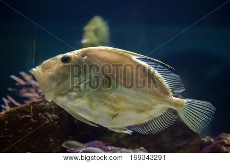 John Dory (Zeus faber), also known as the Saint Peter's fish.