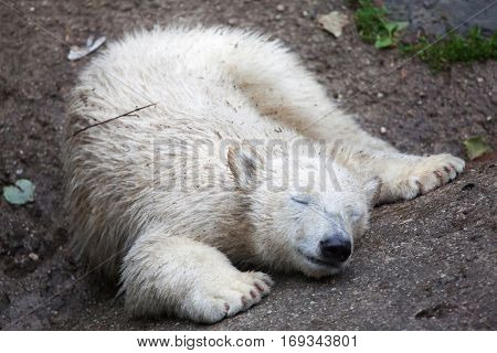 Six-month-old polar bear (Ursus maritimus).