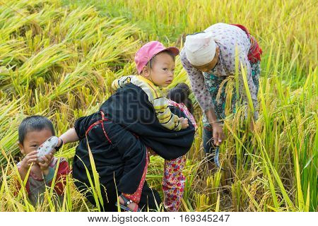 Yen Bai, Vietnam - Sep 27, 2014: Hmong family working on terraced paddy field. The mother carrying her son on back while working