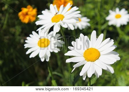 Beautiful white camomile growing in the garden