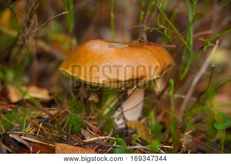 beautiful porcini mushroom growing in the forest