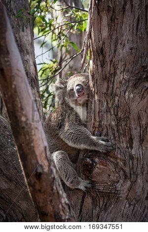 Cute koala bear hugging eucalyptus tree in Australia