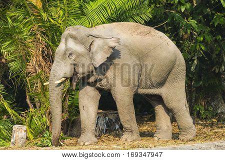 Asian elephant in Khao Yai National Park. Thailand