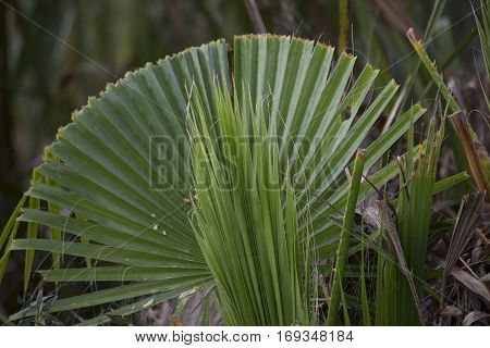 Close up of a fanning palmetto bush