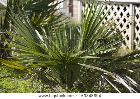 Close up of a green palmetto bush