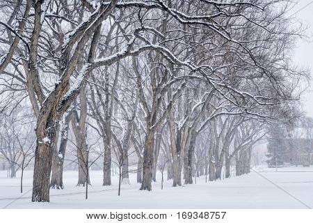 Alley of old elm trees in snow blizzard - historical Oval at Colorado State University campus, Fort Collins