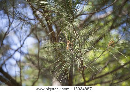 Pollen spores and pine needles on a branch
