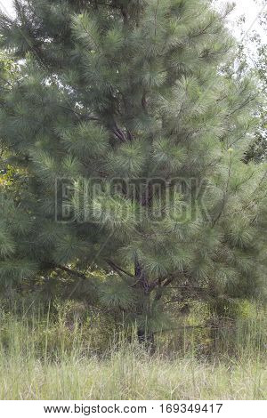 Pine Tree In A Field