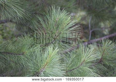 Close Up Of Pine Tree