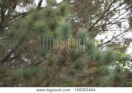 Pine Tree In The Fall