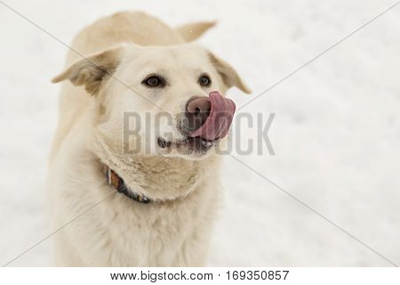 Beautiful labrador playing in the snow and having fun. Focus on the muzzle