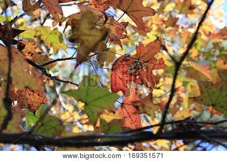 American Sweetgum Tree