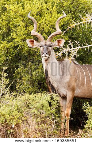 Greater Kudu Side View Pose