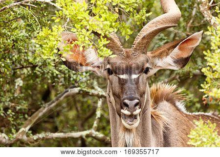Greater Kudu Laughing At You