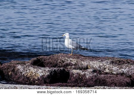 Mediterranean Gull -Larus michahellis - basking in the early morning sun standing on the rocks on the coast of the Mediterranean Sea