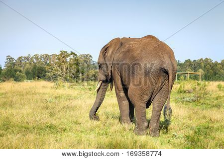 Young elephant in Knysna, South Africa