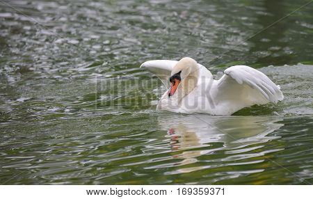 Graceful white Mute swan (Cygnus olor) lands on the water, brings down his wings, landing in morning water in a woodland pond.