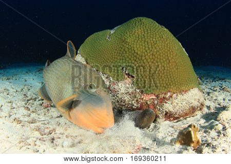 Triggerfish and moray eel. Fish on coral reef